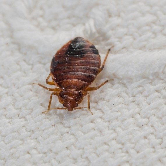 Bed Bugs, Pest Control in Worcester Park, Cuddington, Stoneleigh, KT4. Call Now! 020 8166 9746