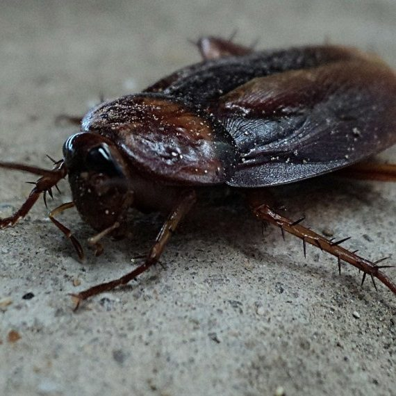 Cockroaches, Pest Control in Worcester Park, Cuddington, Stoneleigh, KT4. Call Now! 020 8166 9746