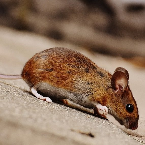 Mice, Pest Control in Worcester Park, Cuddington, Stoneleigh, KT4. Call Now! 020 8166 9746