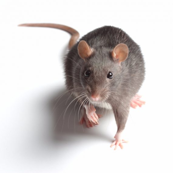 Rats, Pest Control in Worcester Park, Cuddington, Stoneleigh, KT4. Call Now! 020 8166 9746