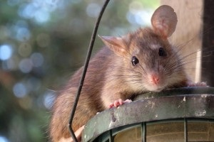 Rat Infestation, Pest Control in Worcester Park, Cuddington, Stoneleigh, KT4. Call Now 020 8166 9746