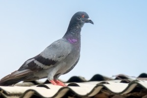 Pigeon Control, Pest Control in Worcester Park, Cuddington, Stoneleigh, KT4. Call Now 020 8166 9746